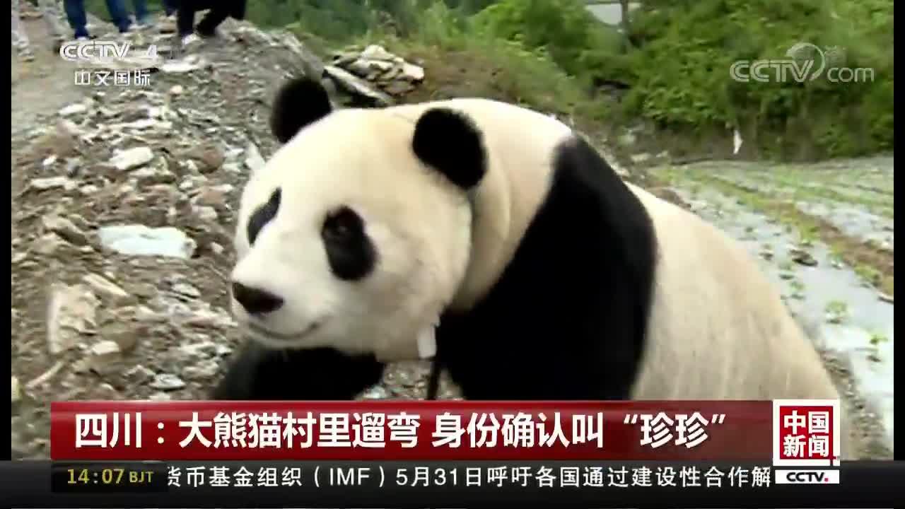 """[视频]四川:大熊猫村里遛弯 身份确认叫""""珍珍"""""""