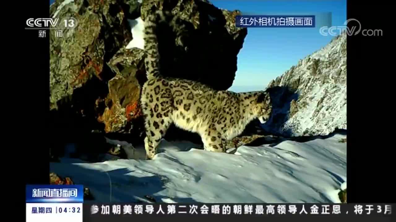 [视频]新疆 天山东部拍到雪豹三口之家