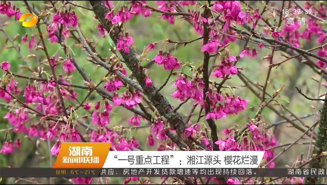"""""""一号重点工程"""":湘江源头 樱花烂漫"""