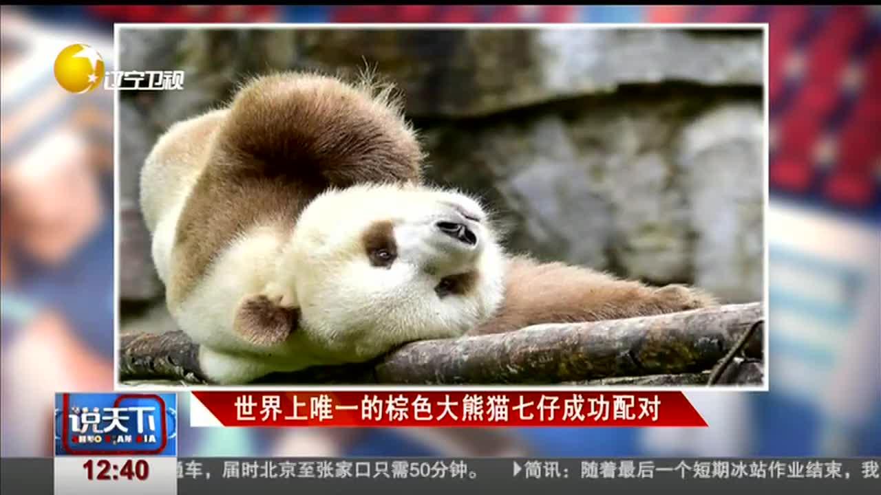 [视频]世界上唯一的棕色大熊猫七仔成功配对