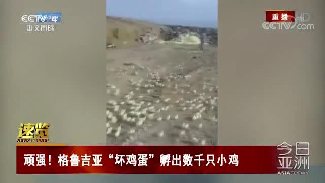 """[视频]顽强!格鲁吉亚""""坏鸡蛋""""孵出数千只小鸡"""