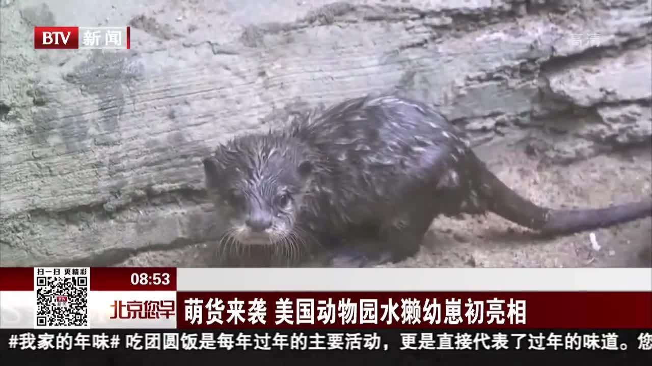 [视频]萌货来袭 美国动物园水獭幼崽初亮相