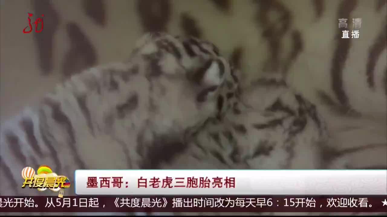 [视频]墨西哥:白老虎三胞胎亮相