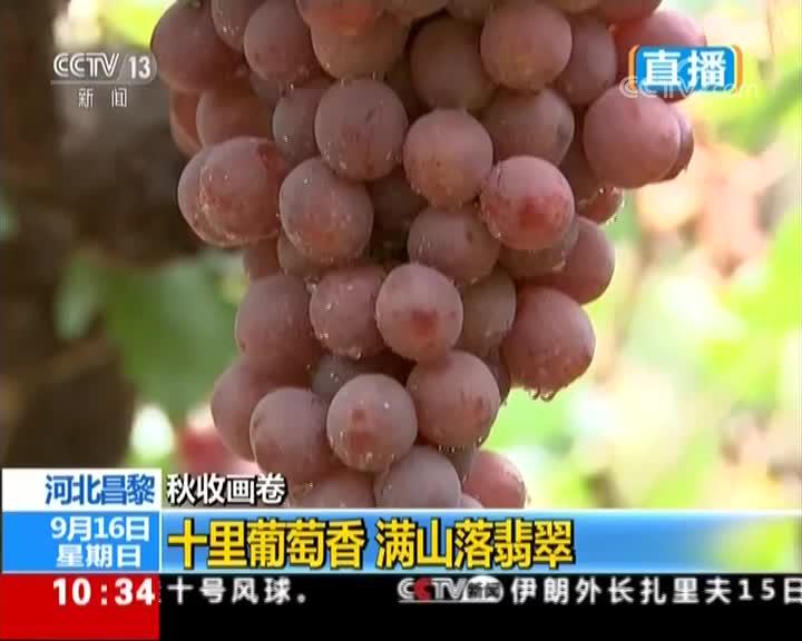 [视频]秋收画卷 河北昌黎 十里葡萄香 满山落翡翠