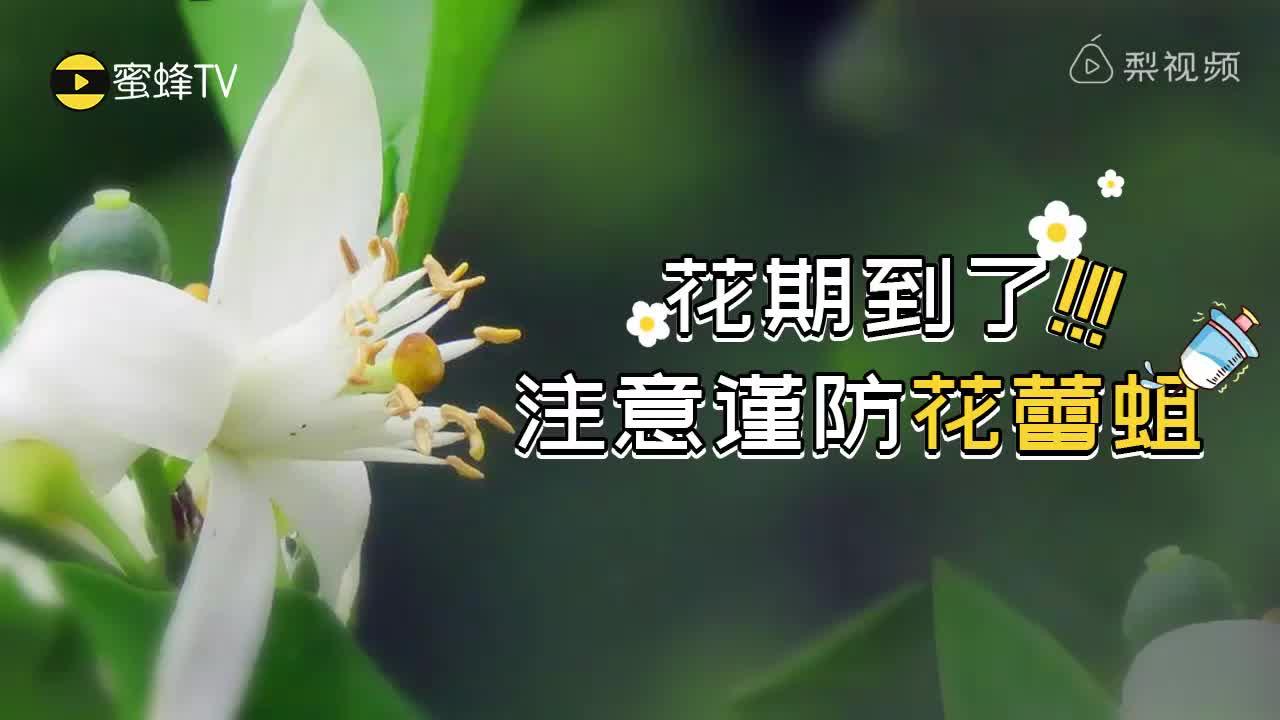 [视频]柑橘花期到了 注意谨防花蕾蛆