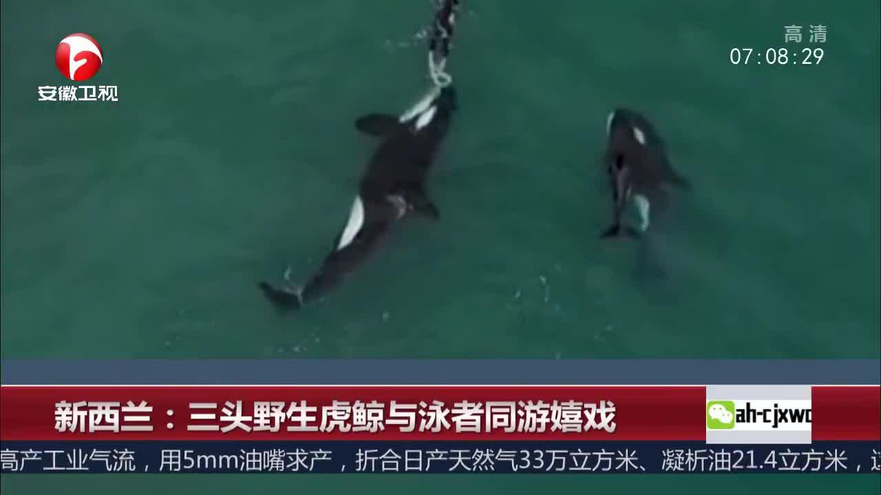 [视频]新西兰:三头野生虎鲸与泳者同游嬉戏