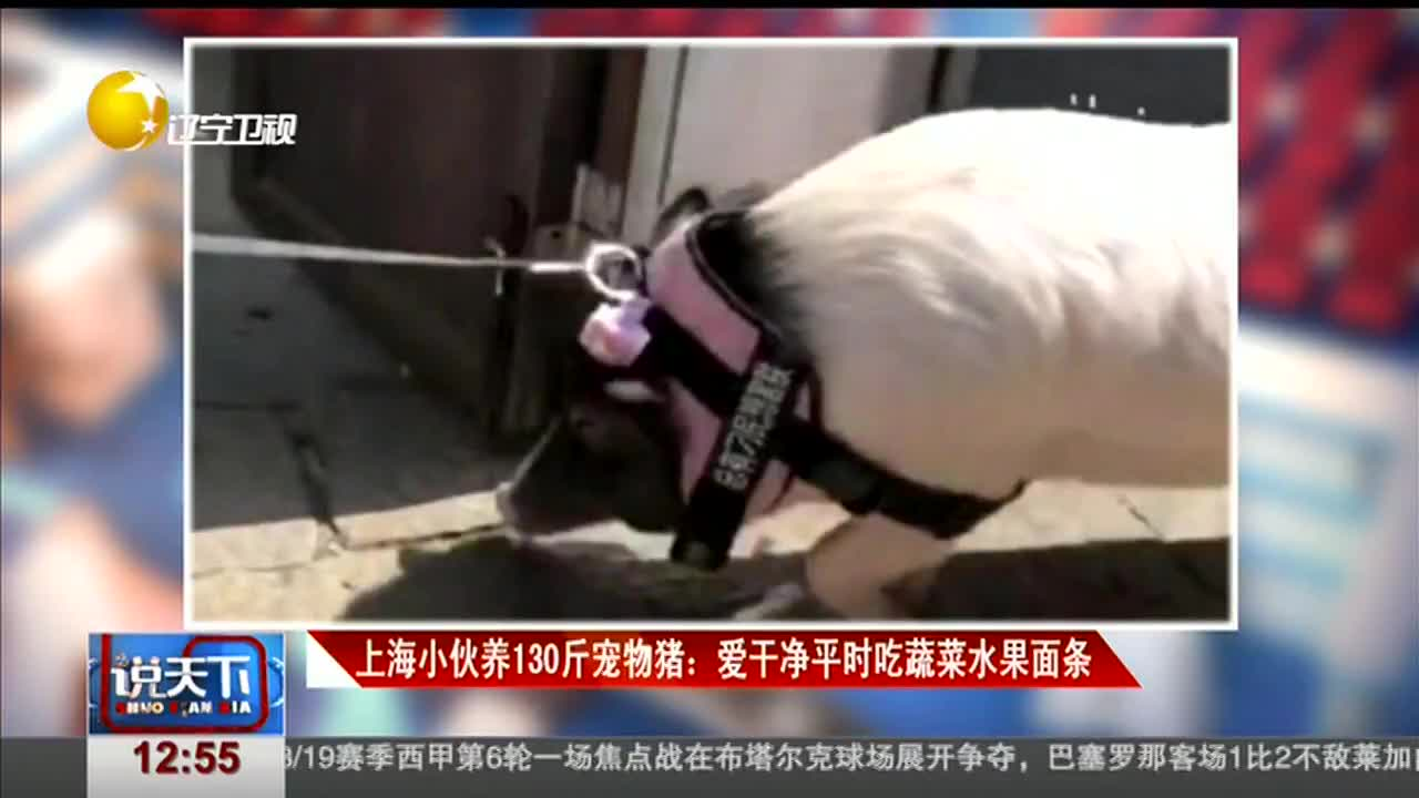 [视频]上海小伙养130斤宠物猪:爱干净平时吃蔬菜水果面条
