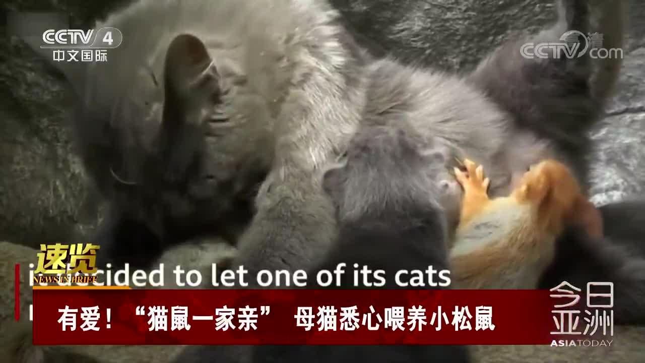 """[视频]有爱!""""猫鼠一家亲"""" 母猫悉心喂养小松鼠"""