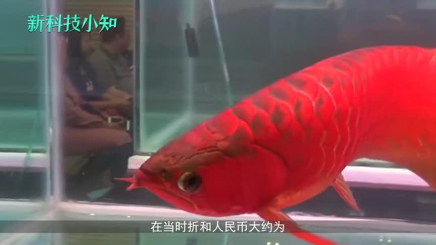 [视频]全球最值钱的鱼 价值等同于香港的一套房