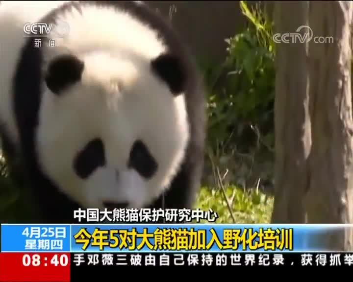 [视频]中国大熊猫保护研究中心 今年5对大熊猫加入野化培训