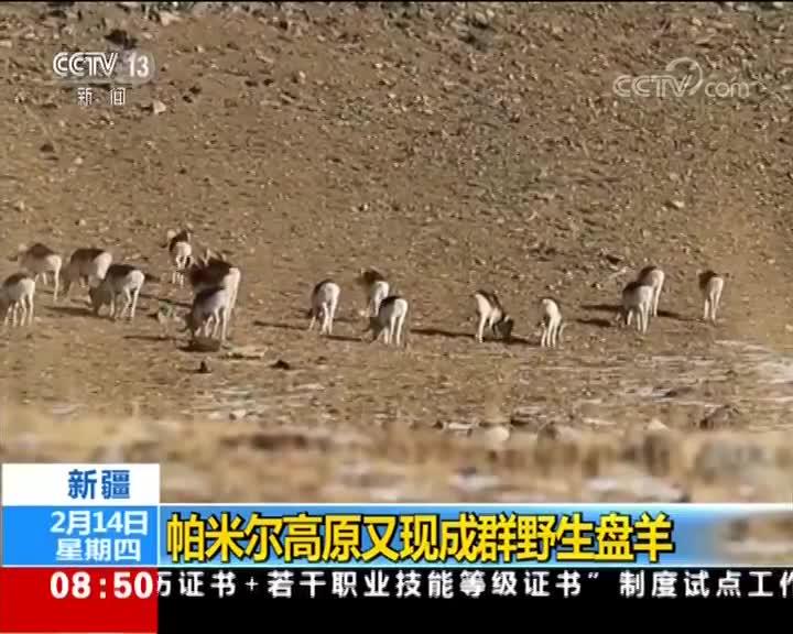 [视频]新疆 帕米尔高原又现成群野生盘羊