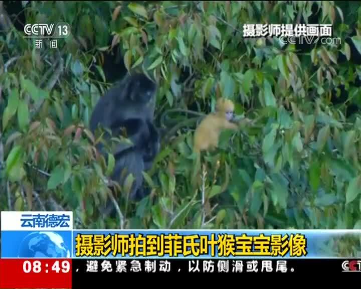 [视频]云南德宏 摄影师拍到菲氏叶猴宝宝影像
