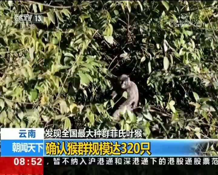 [视频]云南发现全国最大种群菲氏叶猴 确认猴群规模达320只