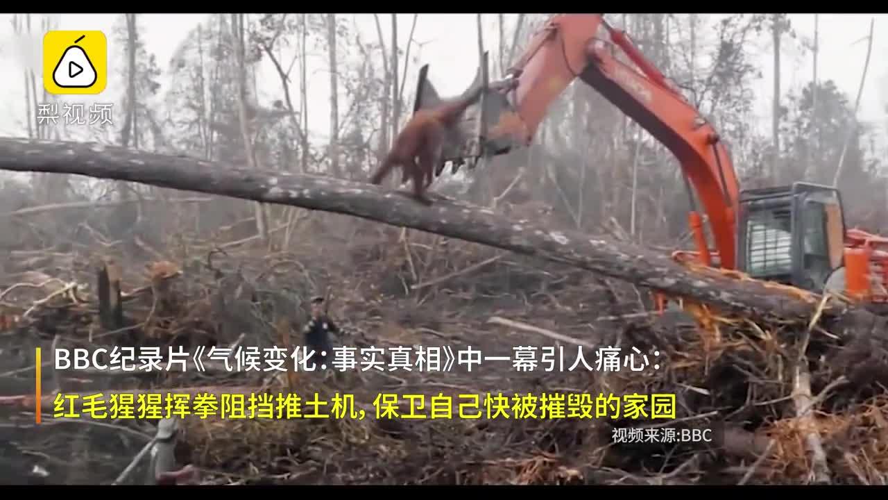 [视频]BBC纪录片心碎一幕:猩猩挡推土机