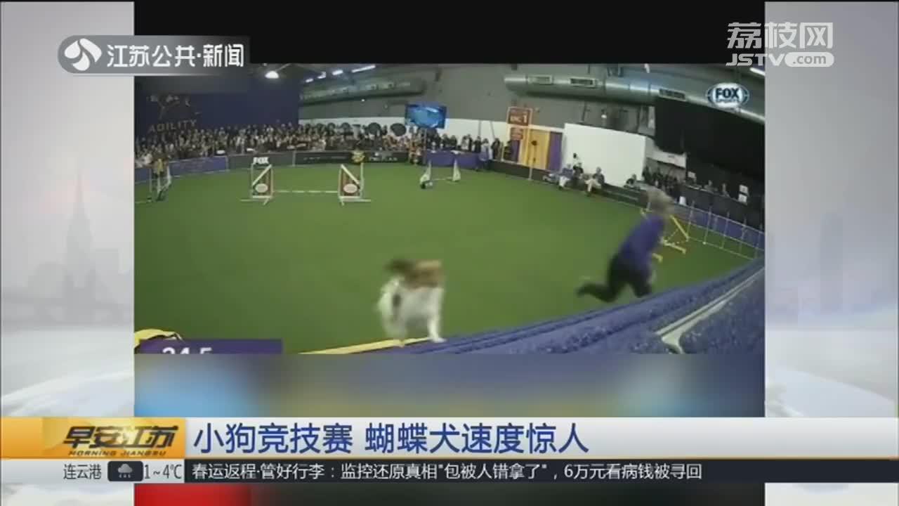[视频]小狗竞技赛 蝴蝶犬速度惊人