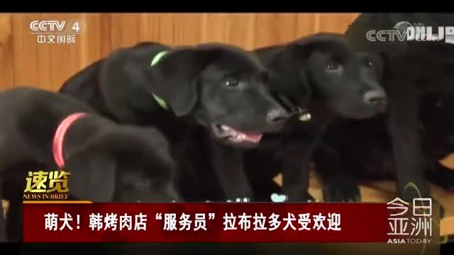 """[视频]萌犬!韩烤肉店""""服务员""""拉布拉多犬受欢迎"""