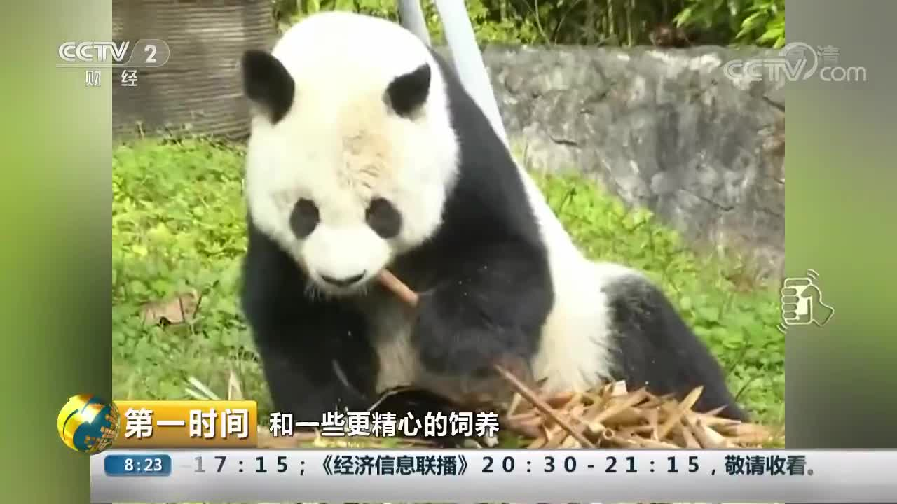 """[视频]四川:旅美大熊猫""""高高""""回川度晚年"""