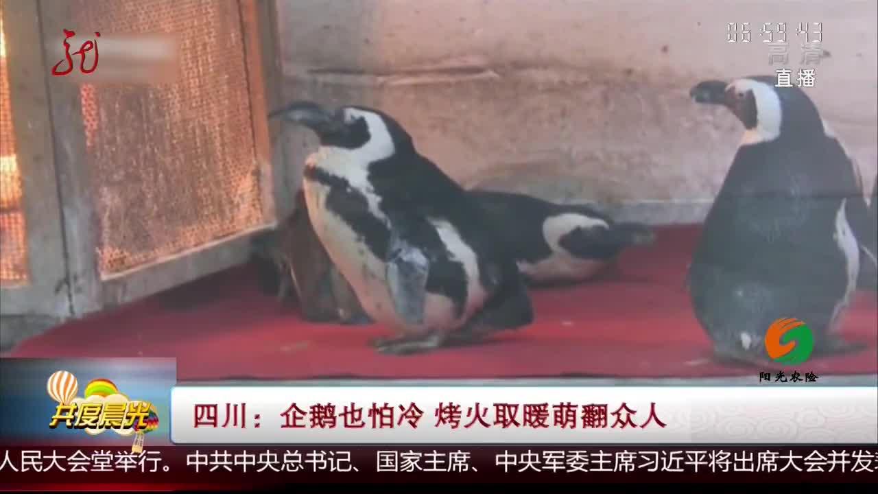 [视频]四川:企鹅也怕冷 烤火取暖萌翻众人