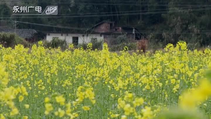 蓝山:油菜花开春意浓