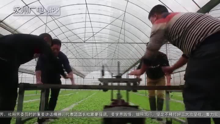 新田:烟农剪叶忙