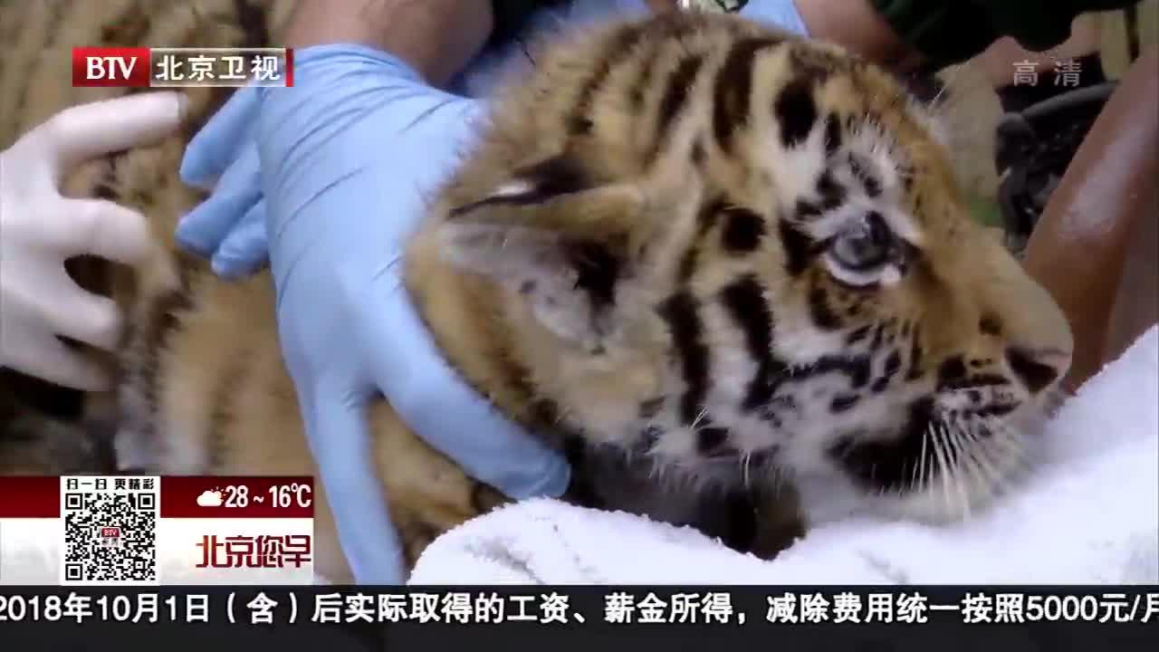 [视频]英国东北虎幼崽第一次体检