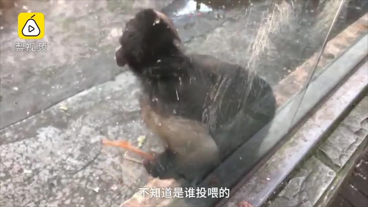[视频]动物园猴子被喂辣条,辣得直抓头