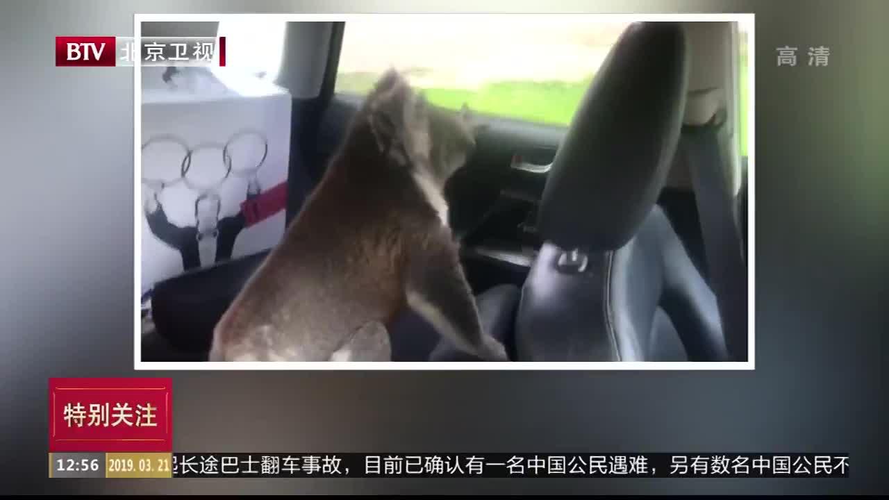 [视频]酷热难耐蹭空调 呆萌考拉霸占路人汽车避暑