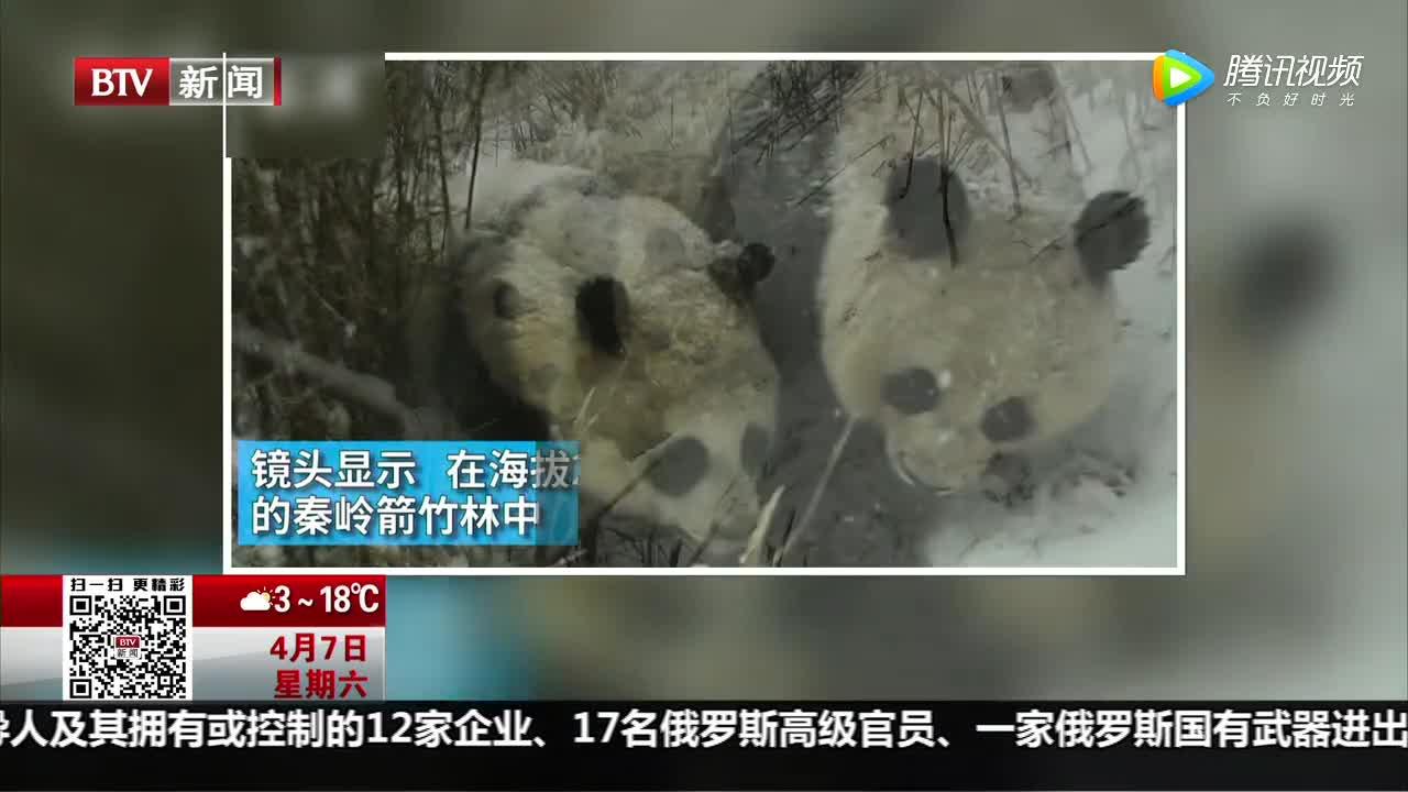 [视频]超萌!秦岭野生大熊猫母子哺乳瞬间