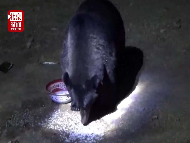 [视频]400斤棕熊每天来讨食 管护员直播给媳妇炫耀