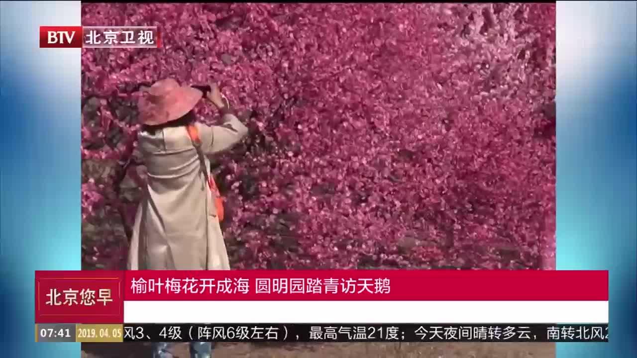 [视频]榆叶梅花开成海 圆明园踏青访天鹅