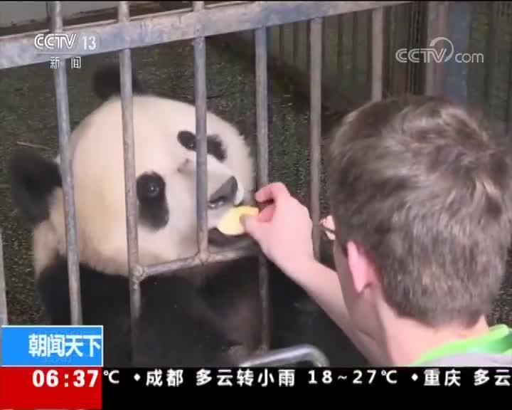 [视频]四川雅安 两只大熊猫今日起程赴俄罗斯