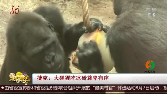 [视频]捷克动物园:大猩猩吃冰砖尊卑有序