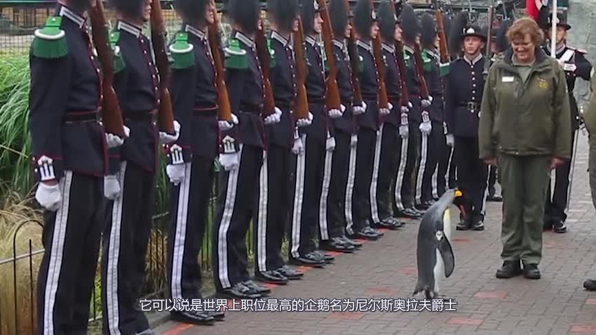 """[视频]最""""风光""""的企鹅 被王室授予军衔 军官见了它都得行礼!"""
