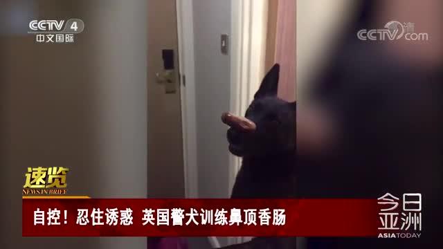 [视频]自控!忍住诱惑 英国警犬训练鼻顶香肠
