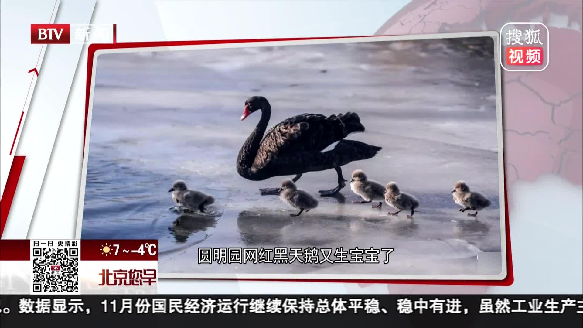 [视频]圆明园网红黑天鹅又生宝宝了