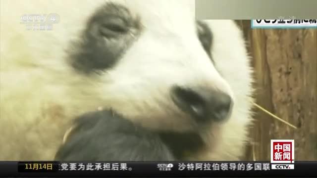 """[视频]日本:大熊猫""""香香""""尝试独立生活"""