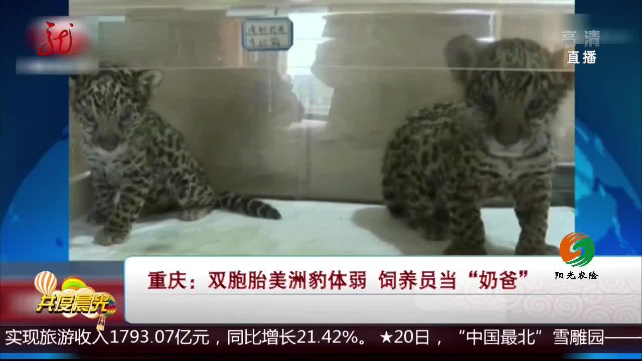 """[视频]重庆:双胞胎美洲豹体弱 饲养员当""""奶爸"""""""