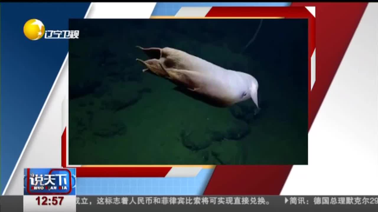 """[视频]美国海底3600米深处发现超萌""""小飞象章鱼"""""""