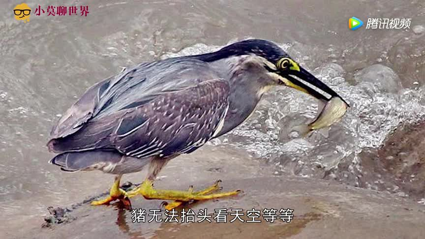 [视频]世界上最有头脑的鸟 会像人一样钓鱼