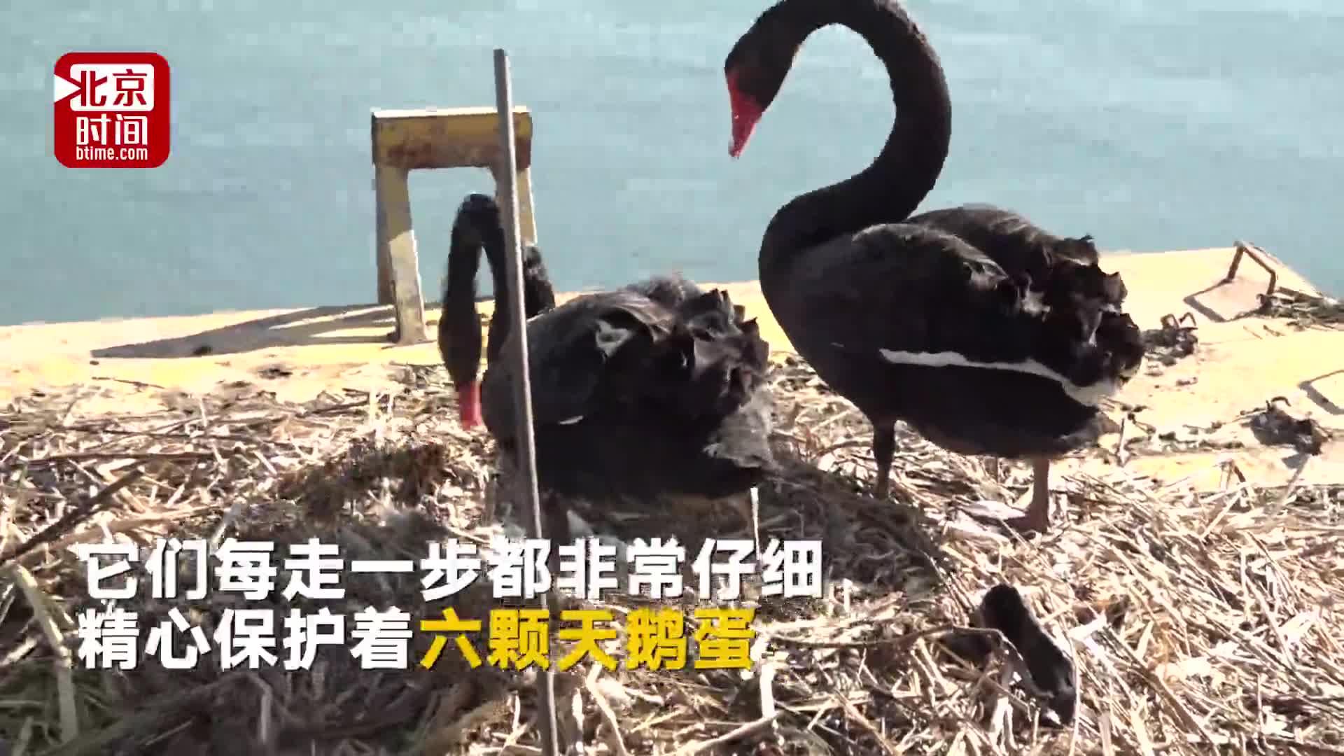 [视频]黑天鹅围着孵蛋妻子游3圈:亲爱的,你辛苦了