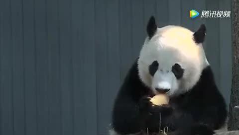 [视频]这只大熊猫曾5次假怀孕 这次不知道是不是真的