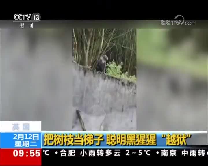 """[视频]英国 把树枝当梯子 聪明黑猩猩""""越狱"""""""