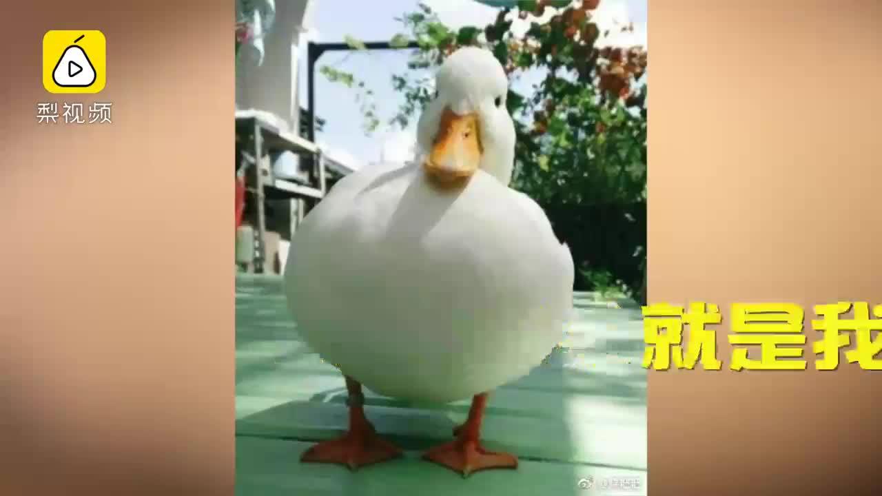 [视频]王思聪在重庆买了2只鸭子,价值3万