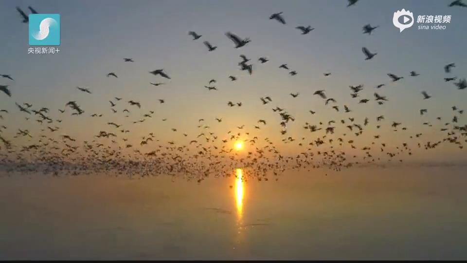 [视频]壮观!数十万只大雁集结南迁 飞起处遮天蔽日