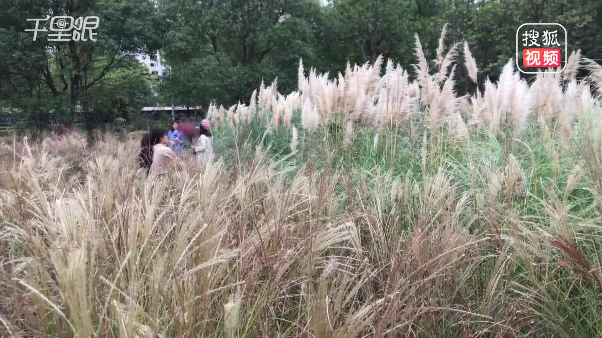 [视频]杭州网红花田现身 三天后成废田
