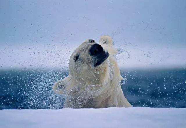 [视频]激萌!北极熊出水如何蹭干 神操作令人捧腹