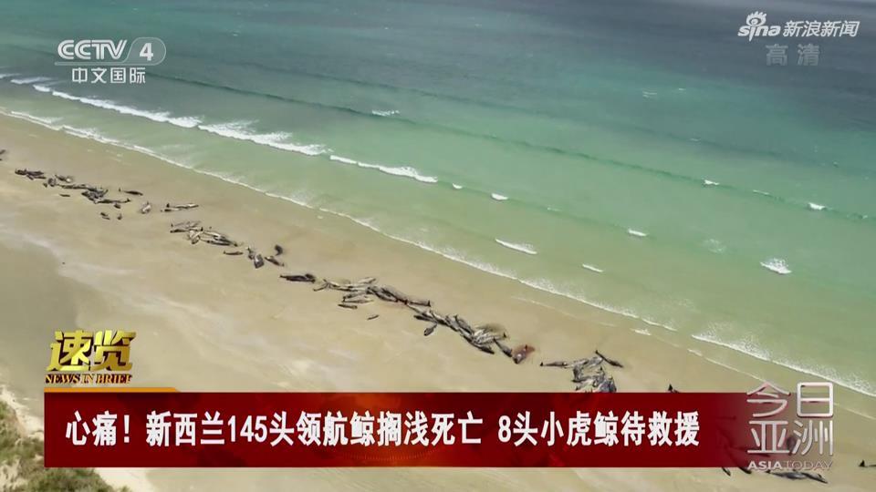 [视频]新西兰145头领航鲸搁浅死亡 8头小虎鲸待救援