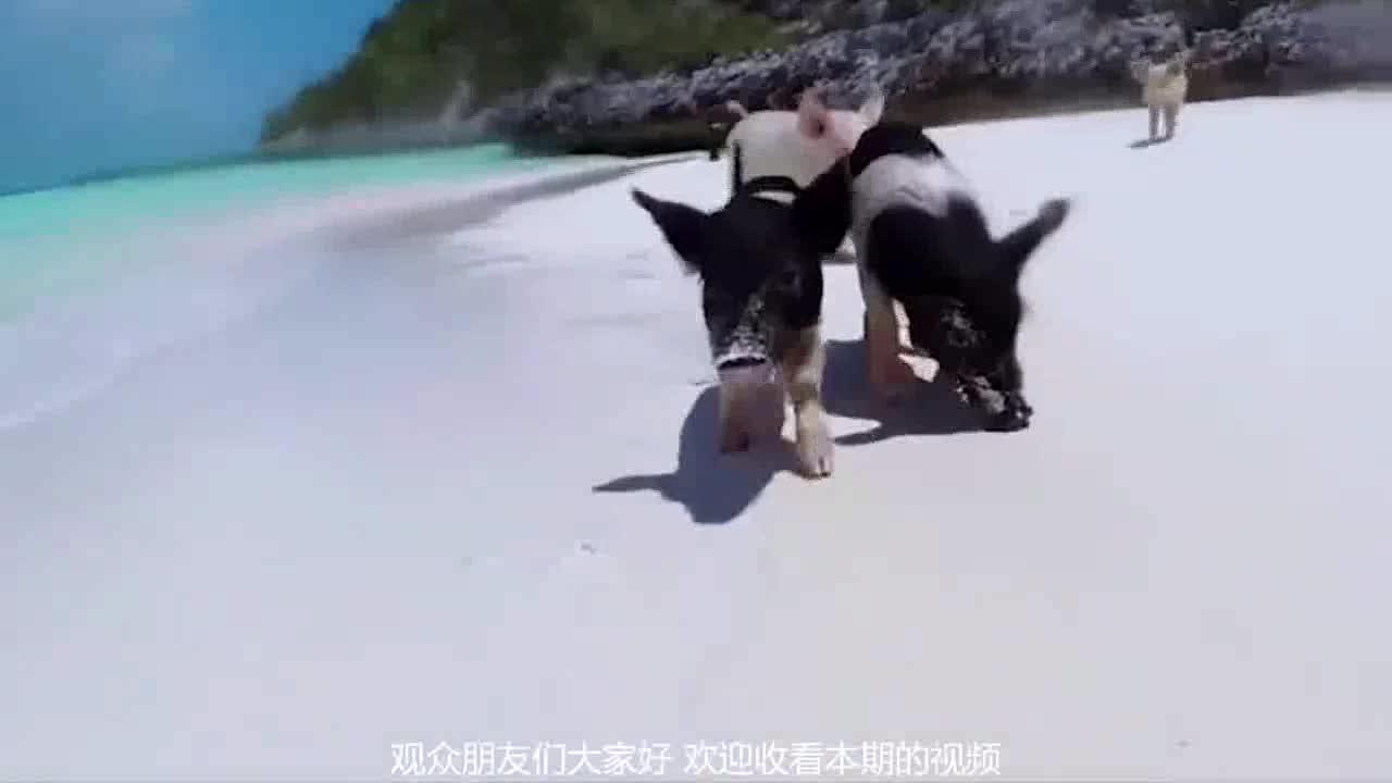 """[视频]世上最幸福的猪 """"霸占""""岛屿享皇室待遇 网友:真是羡煞旁猪了"""